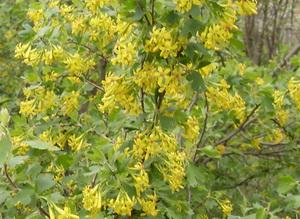Чудесный весенний аромат цветов черной смородины