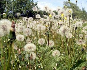 Одуванчики цветут не долго