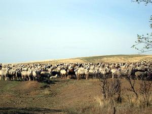 Овцы в степи