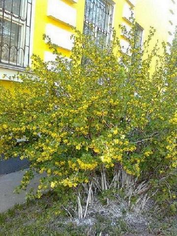 Весна. Цветет черная смородина