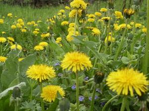 Желтые одуванчики в траве